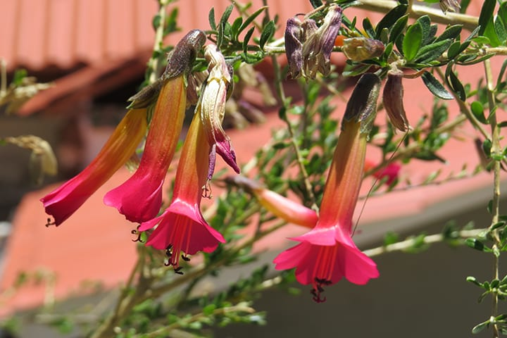 Andean flower of highlands sun island lake titicaca bolivia