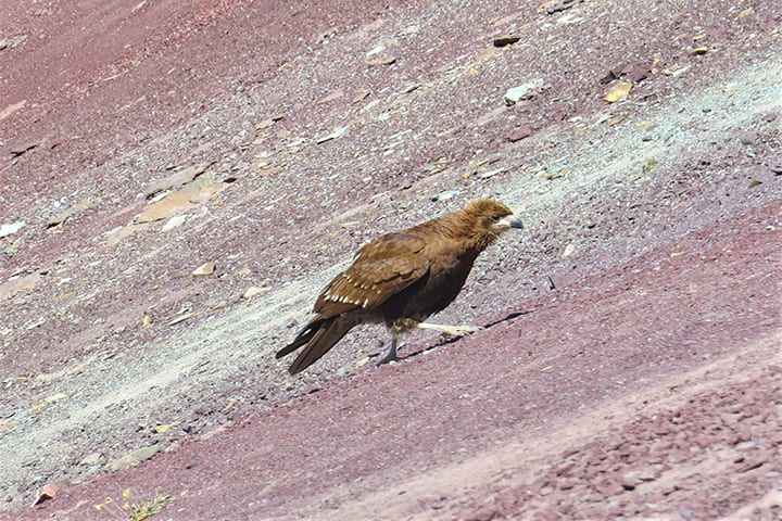 young eagle in ausangate trek
